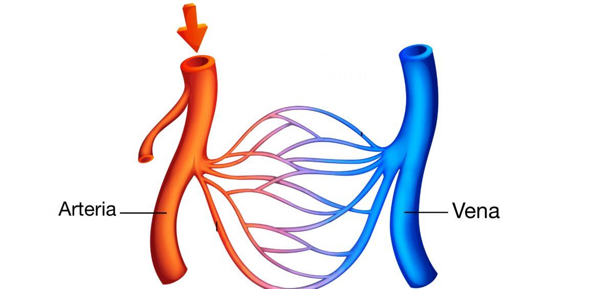 El sistema circulatorio. Prometheus Fisioterapia. Clínica de Fisioterapia en Valencia